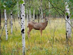 Colorado mule deer. Photo by Lew Carpenter